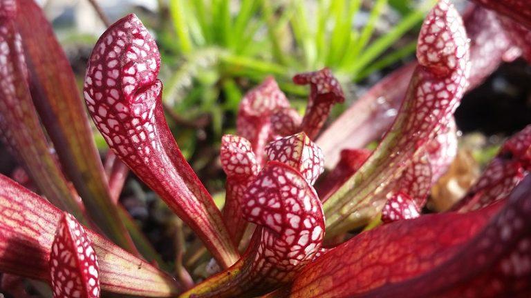 Sarracenia x 'Scarlet Belle'