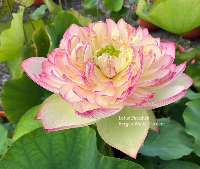 Pink Brocade Lotus