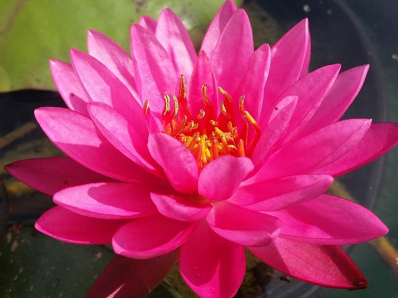 N bernice ikins bergen water gardens lotus paradise for Lotus plant for sale