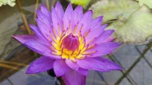 Tropical Waterlily Lindsey Woods at Lilac Festival