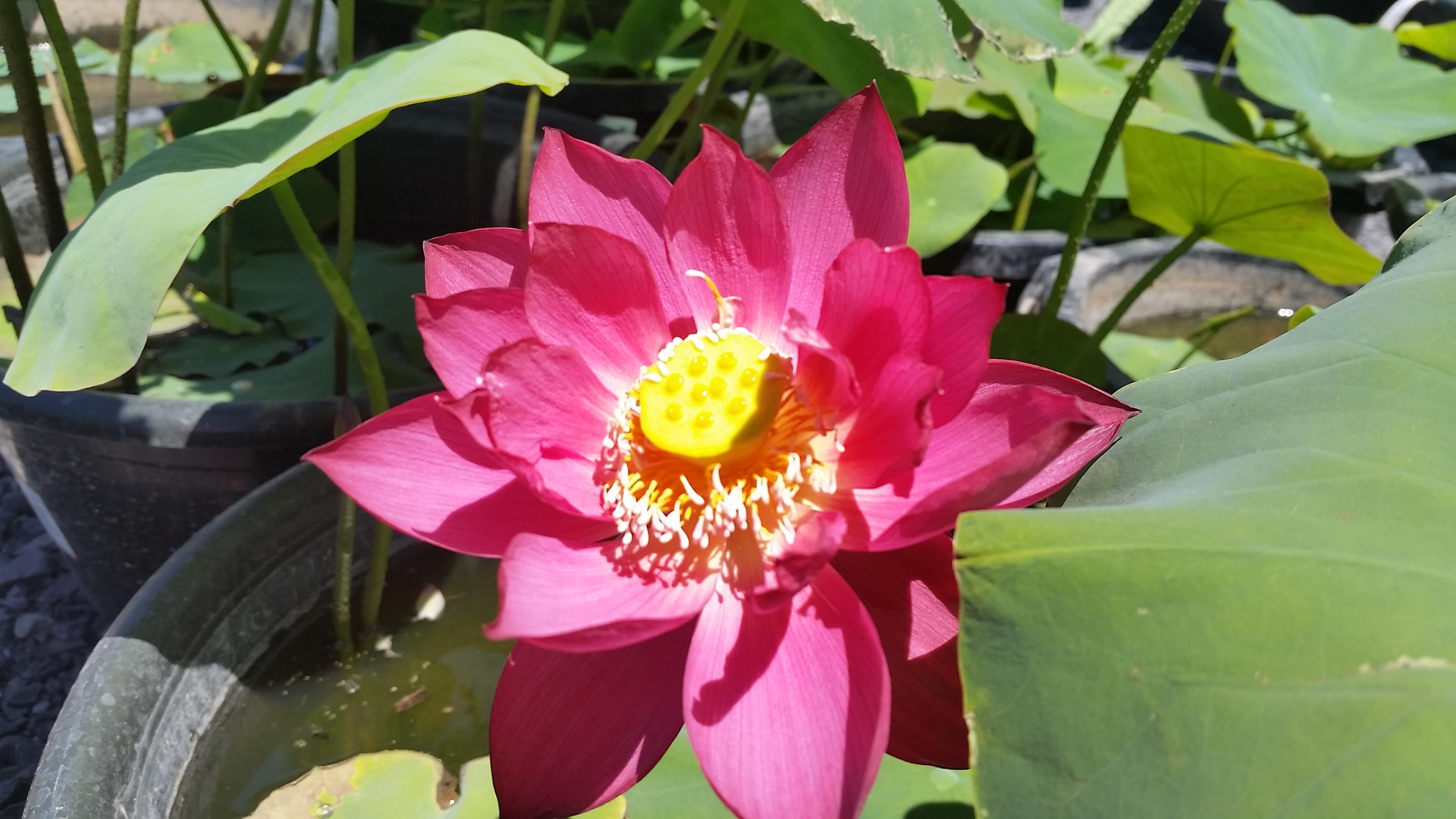 Lotus flowers 2016 bergen water gardens lotus paradise chinese red zunyi lotus flower izmirmasajfo