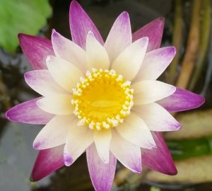 Purple Joy Waterlily