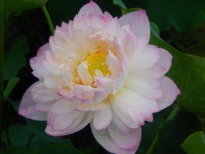 Red River Lotus