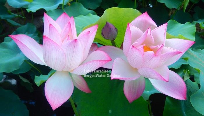 Red Silk B Lotus