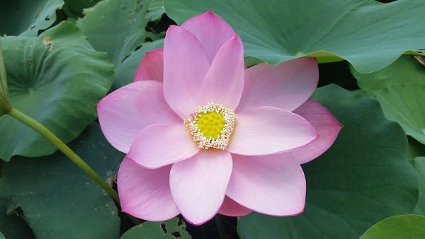 Ancient China Lotus