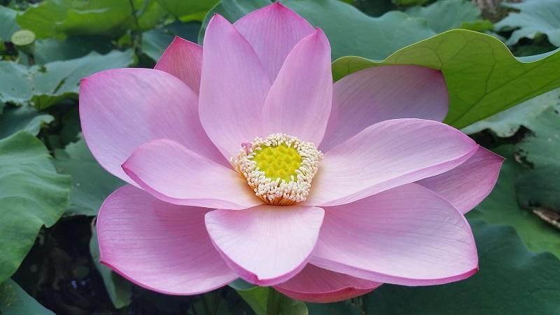 Ancient China Lotus