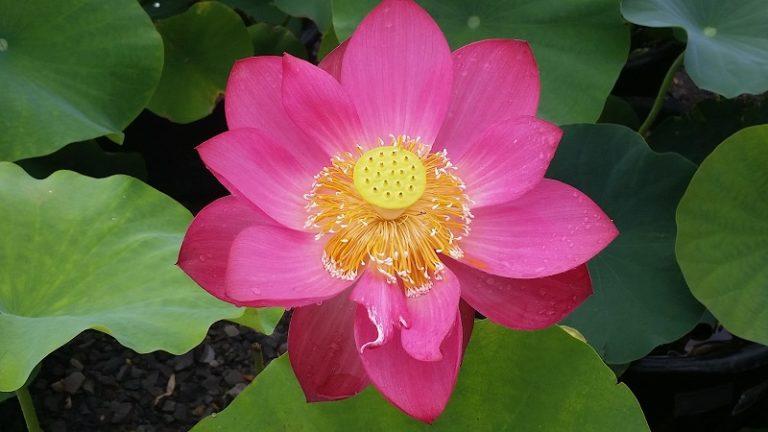 Chinese Red Xibeipo lotus