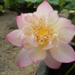 Jade Cup Bud Lotus
