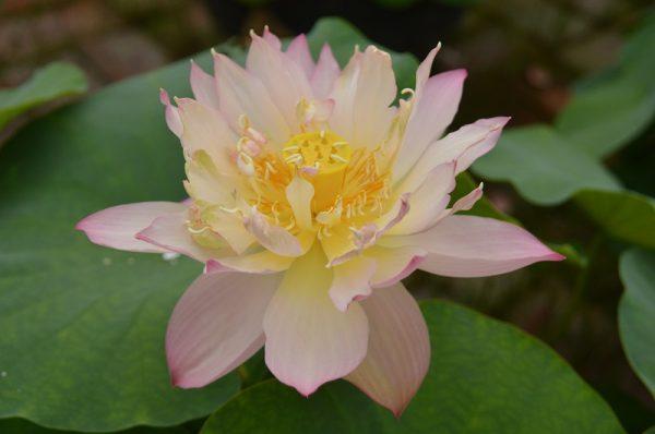 Hands of Goddess of Mercy Lotus