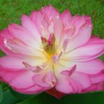 Three Hundreds Petaled Red Lotus Lotus