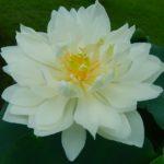 Chong Shui Hua Lotus