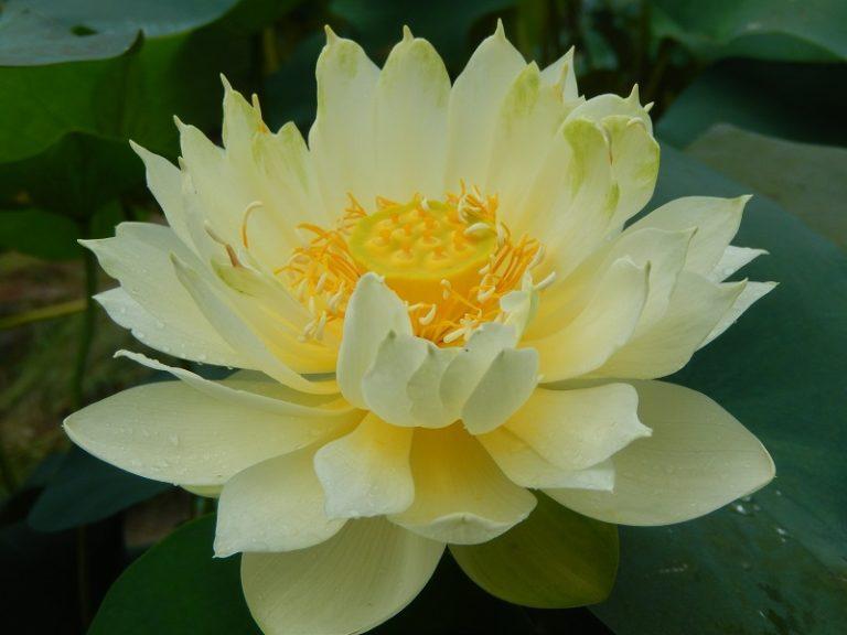 Little Oriole lotus