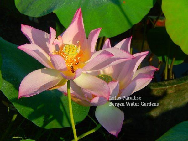 Apricot's Pink Lotus