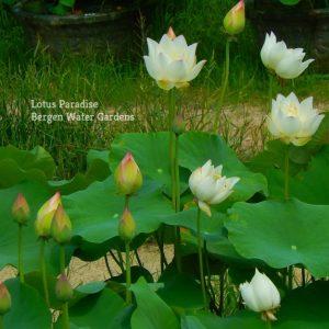 Look Back Three Times Lotus