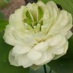 Gardenia Lotus
