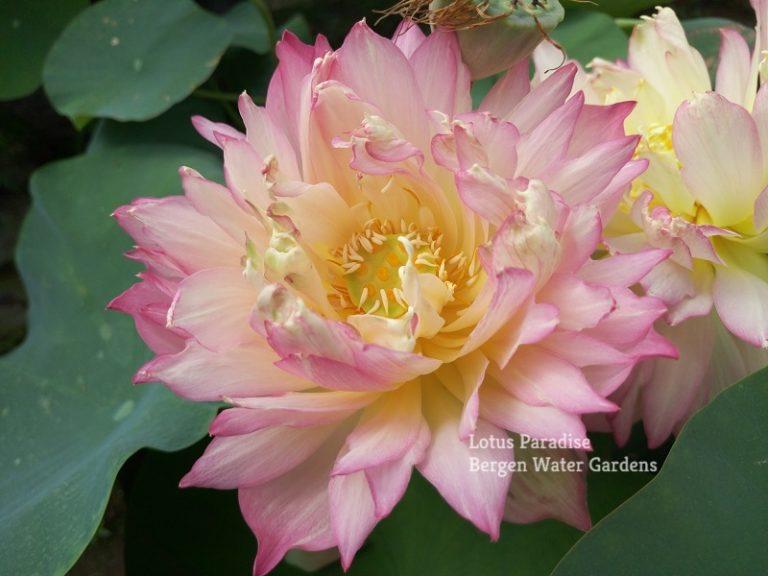 Little Dancing Empress Lotus