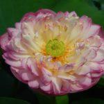 Maid Lotus