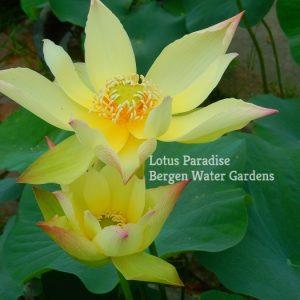 Golden Monkey Lotus