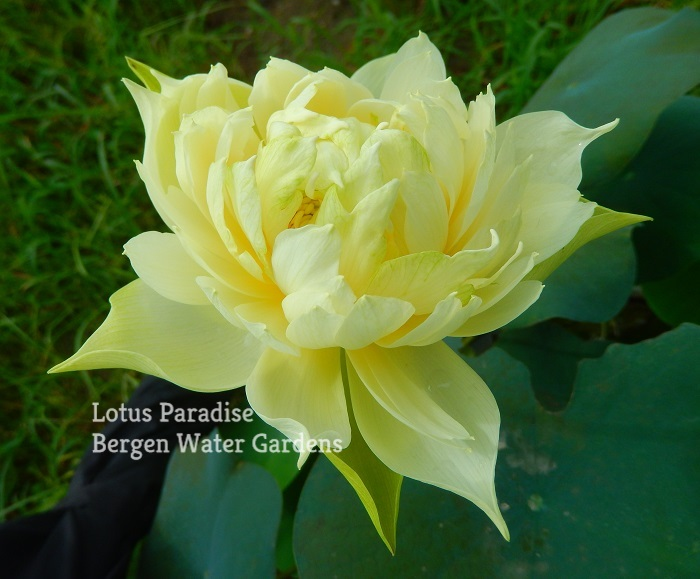 Snow-white Fragrant Sea Lotus