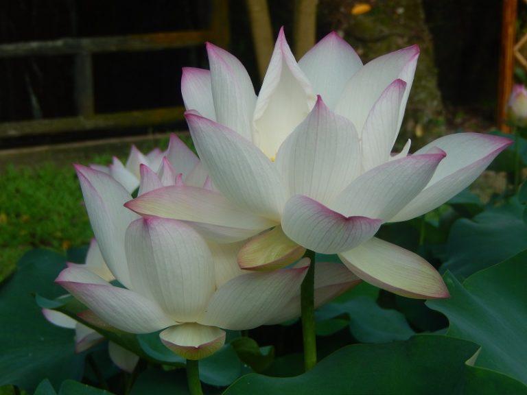 Jade Girl of Fujian Lotus