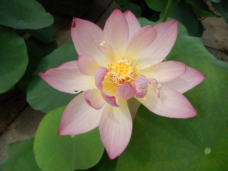 Jade Girl of Chuxiang Lotus
