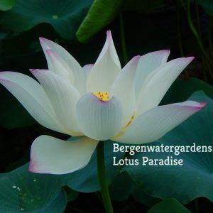 Colorful Jade Lotus