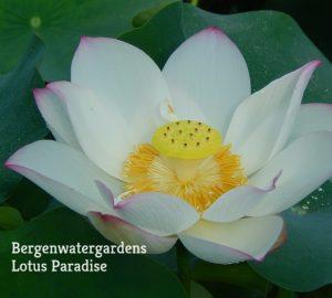 Dancing in the Moon Lotus