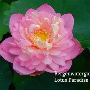 Drunken Jade- Town Lotus
