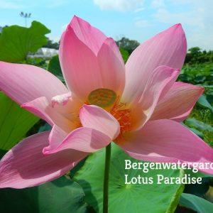 Fairy of Da He Lotus