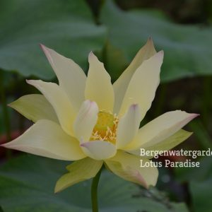 Golden Monkey Lotus
