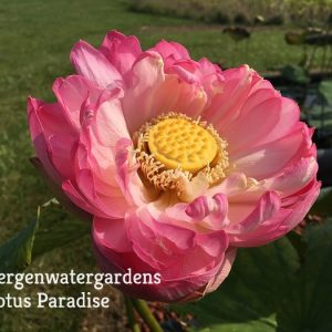 Huge Pink Lotus