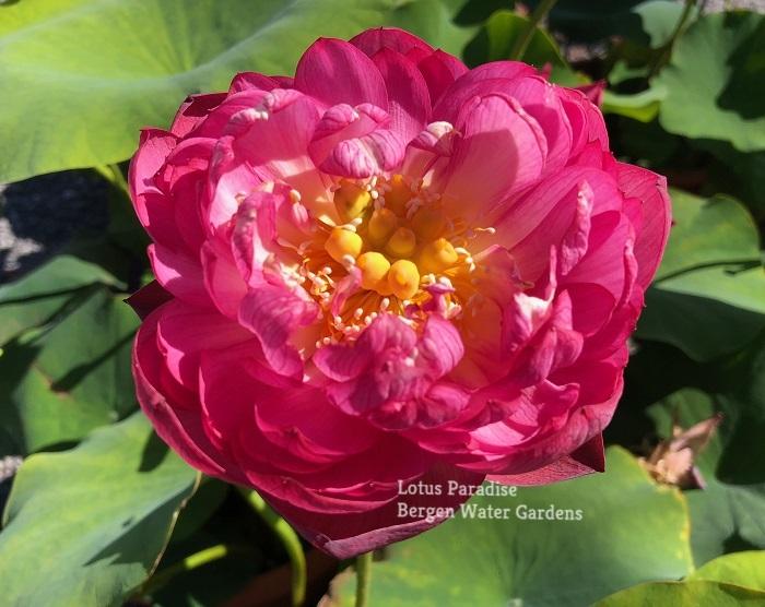 Spring Peach Lotus
