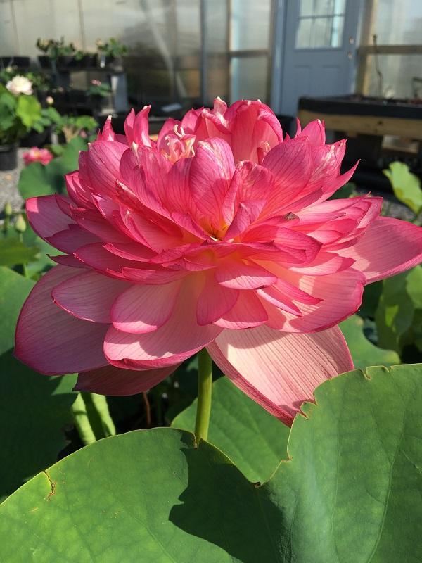 Yan Er Mei Lotus