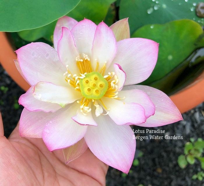 Red Exquisite Lotus