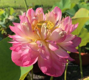 Drunken Pink Lady Lotus