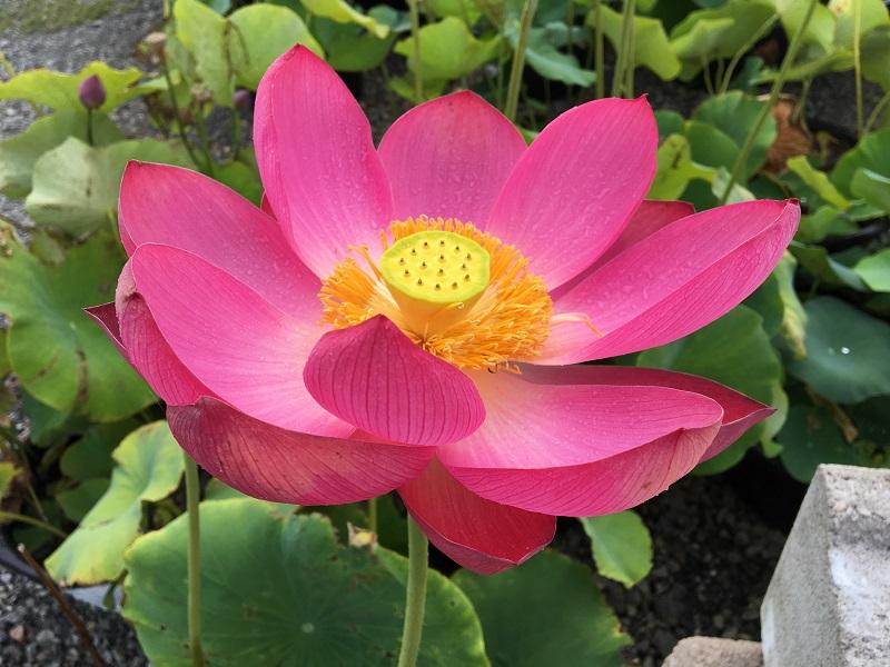 Chinese red jiaxing lotus bergen water gardens lotus for Lotus plant for sale