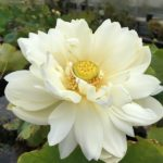 Perfect White Lotus