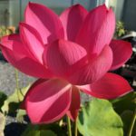 Chinese Red Jiaxing Lotus