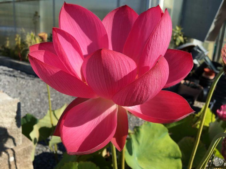 Chinese Red Jiaxing Lotus