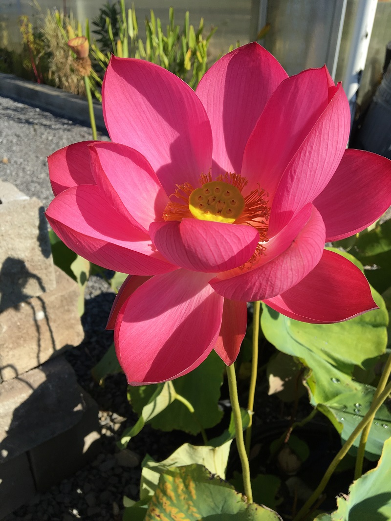 Chinese Red Jiaxing Lotus All Ship Spring 2019 Bergen Water
