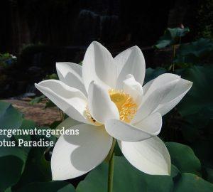 Rain Spatter Lotus