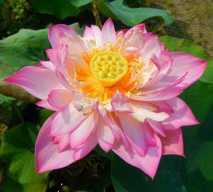 Rich Harvest Lotus
