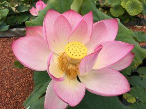 Space 36 Lotus