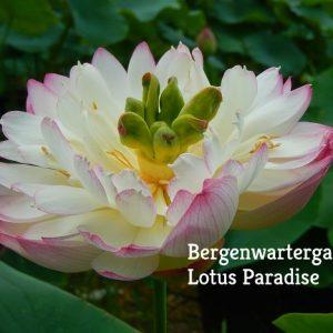 Supreme Lotus