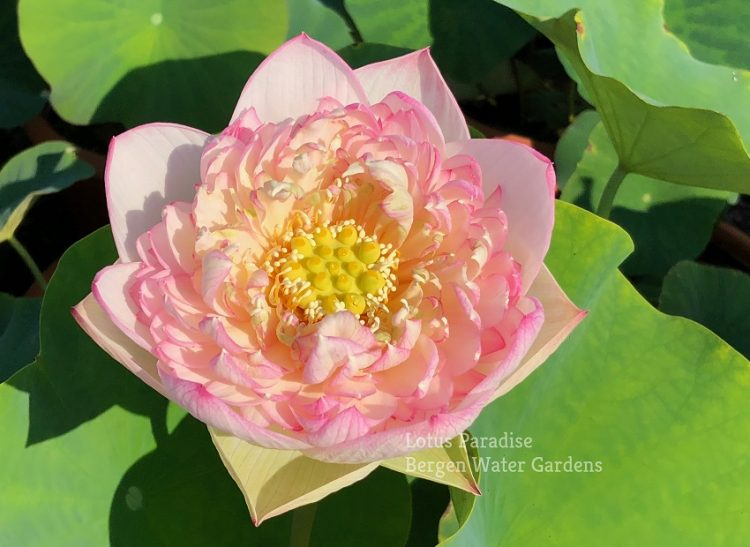 Buddha's Seat Lotus