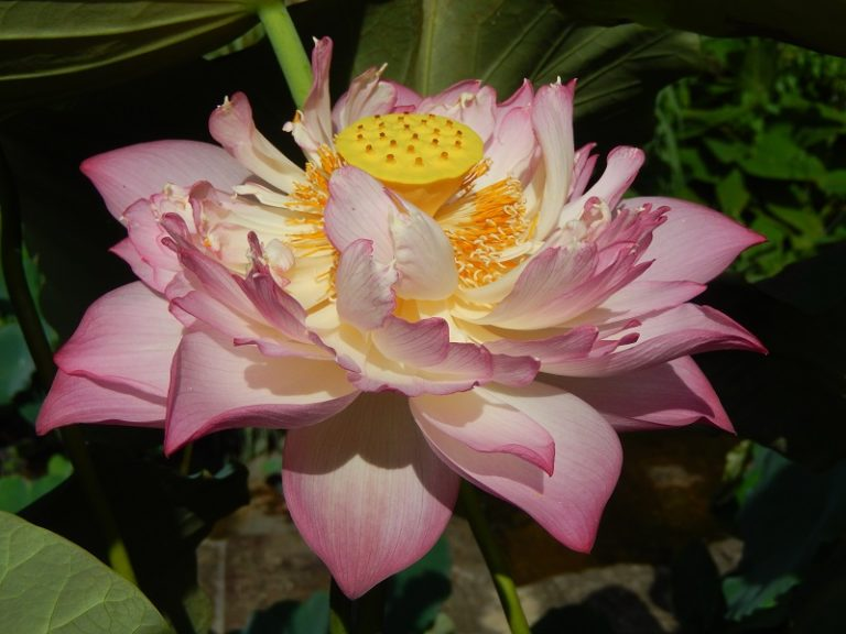 Drunken Dancing under Sunshine Lotus