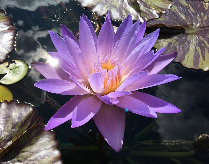 N. Star of Siam waterlily