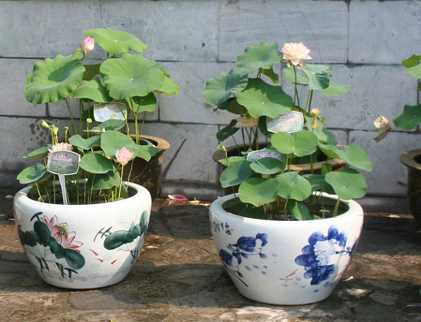 How to Pot Lotus Tubers