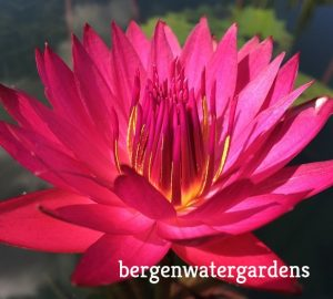 Holt Doris waterlily