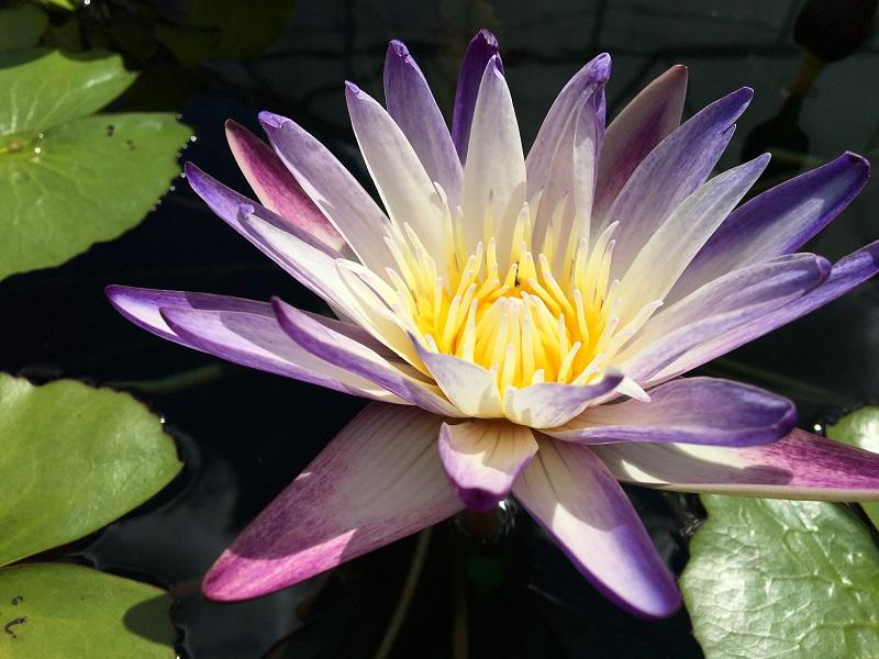 N. Purple Joy